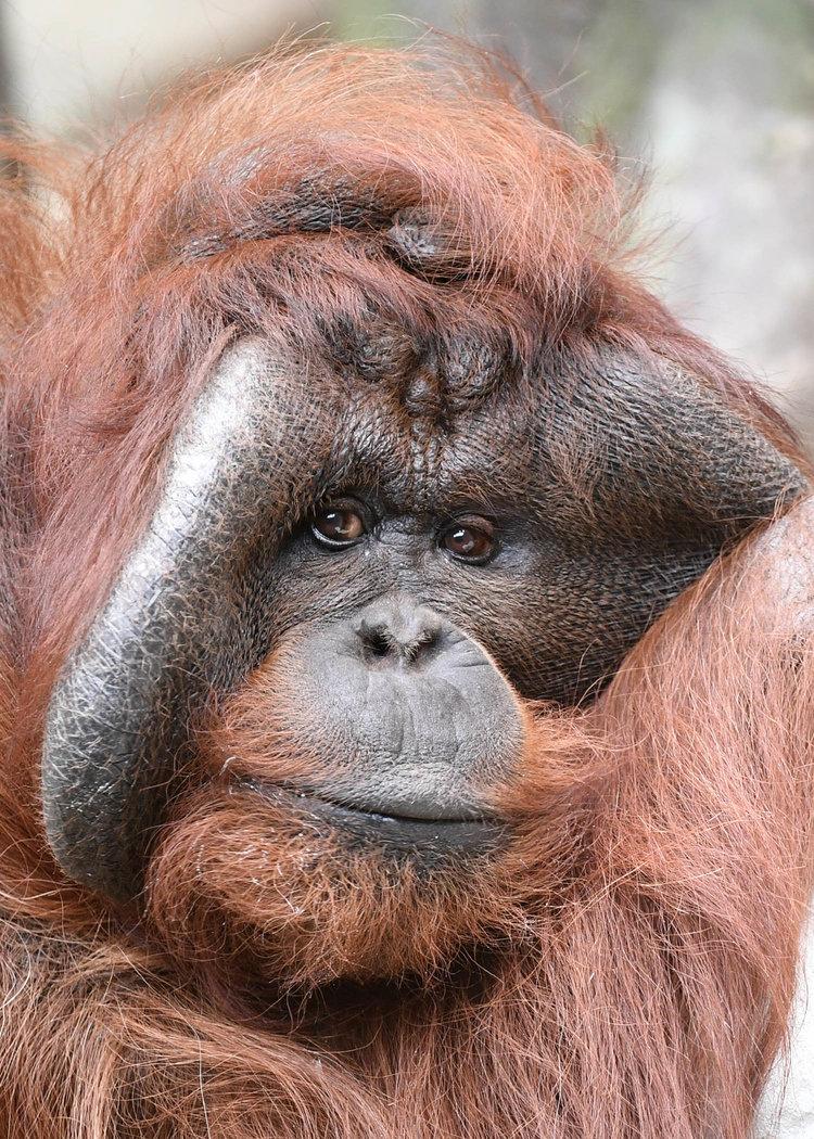 Orangutan-1.jpg