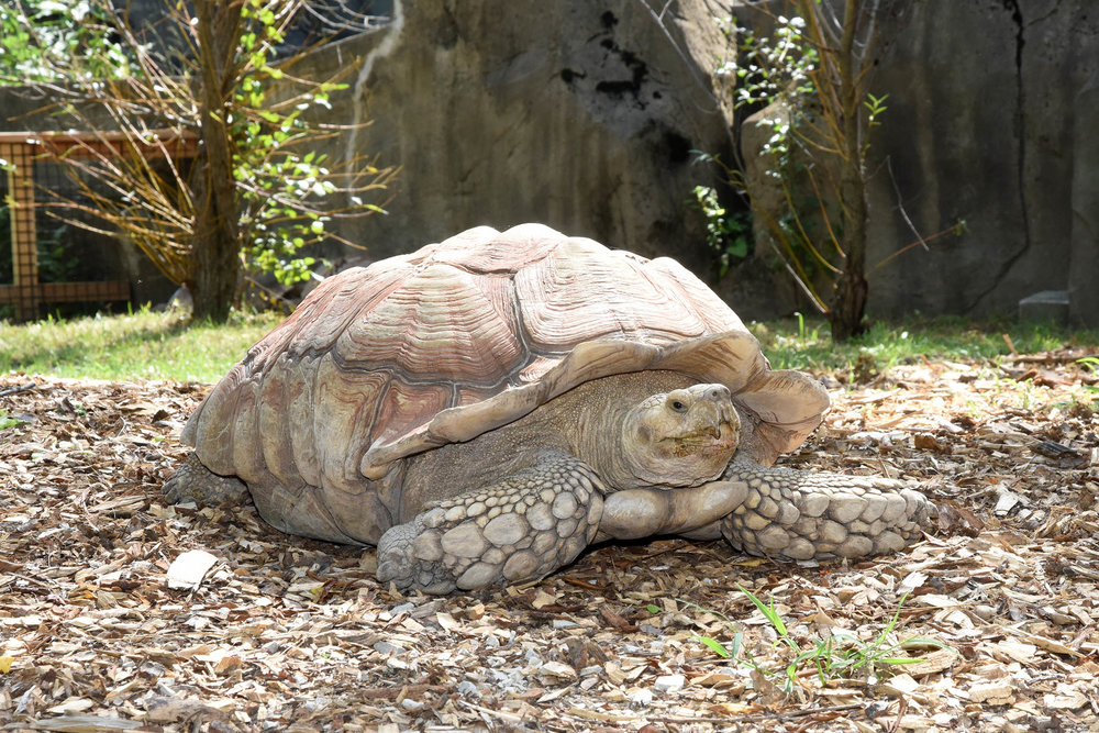 Giant tortoise at Brookfield Zoo's new exhibit space on the north side of Tropic World (photo courtesy of the Chicago Zoological Society)