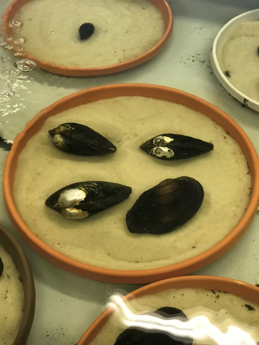 Groups of fresh water mussels are raised and allowed to grow at the Urban Stream Research Center before eventually being released into area rivers and streams