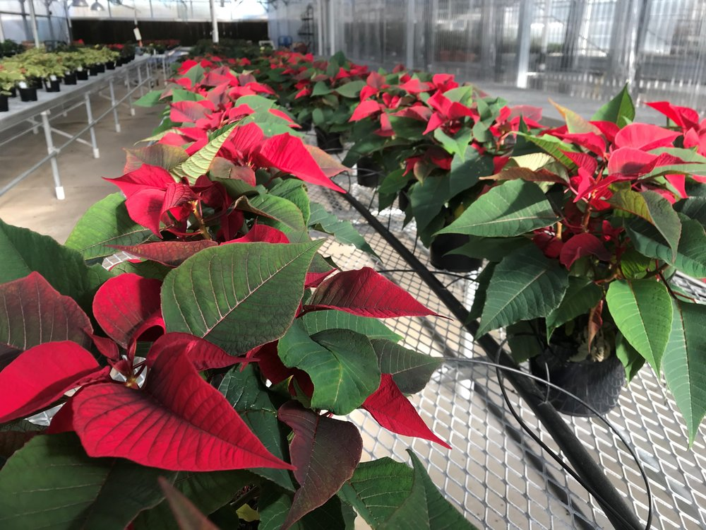 Rows and rows of poinsettias at the College of DuPage greenhouse are close to being ready for the holiday season