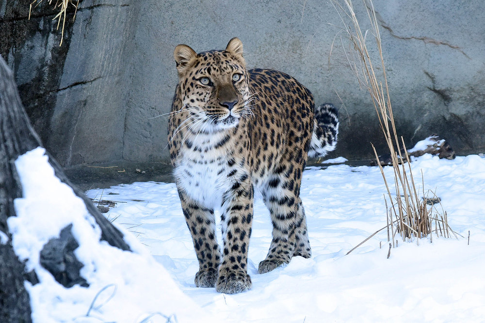 One of Brookfield Zoo's Amur Leopards (photo courtesy of the Chicago Zoological Society)