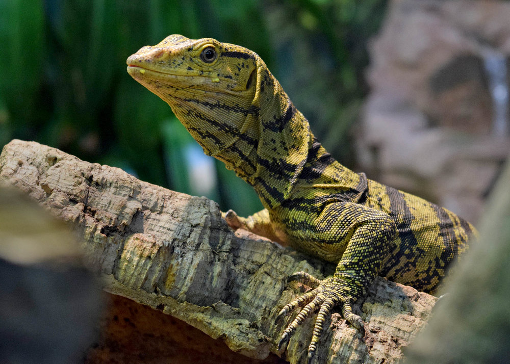 A new exhibit of Grey's Monitor at Brookfield Zoo (photo courtesy of Chicago Zoological Society)