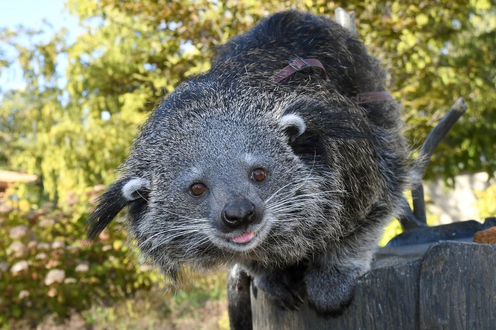 Brookfield is home to several Binturong including Bathsheba who serves as an animal ambassador (photo courtesy of the Chicago Zoological Society)