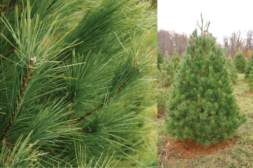 - white pine