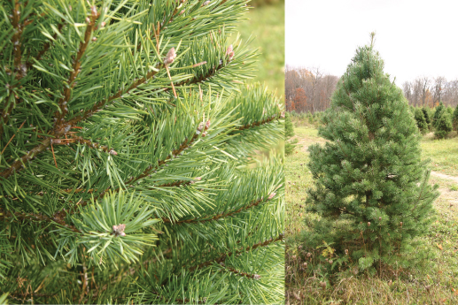 - Scotch pine