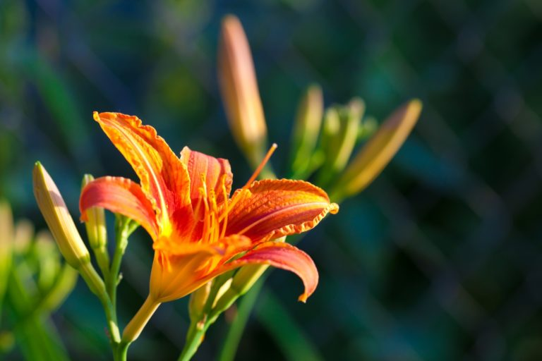 Day-Lily-smaller-768x512.jpg