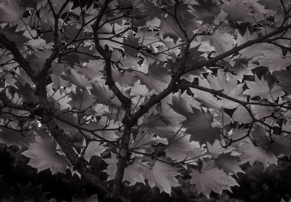 Japanese Leaves