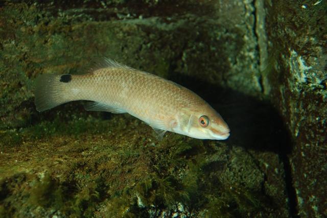 Havkarusse - Denne lille fyr ses ofte mellem stenene på revene. En fisk som typisk ses på hård bund og som ikke træffes så ofte på den bløde bund, som Limfjorden er kendt for.