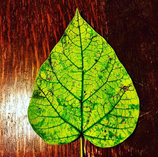 As chlorophyll breaks down in the Fall, the green color of this catalpa leaf disappears. The underlying yellow becomes visible, revealing the catalpa's splendid Fall color. #columbusga #treesrock #catalpa #fall #pumpkinspice 🌳