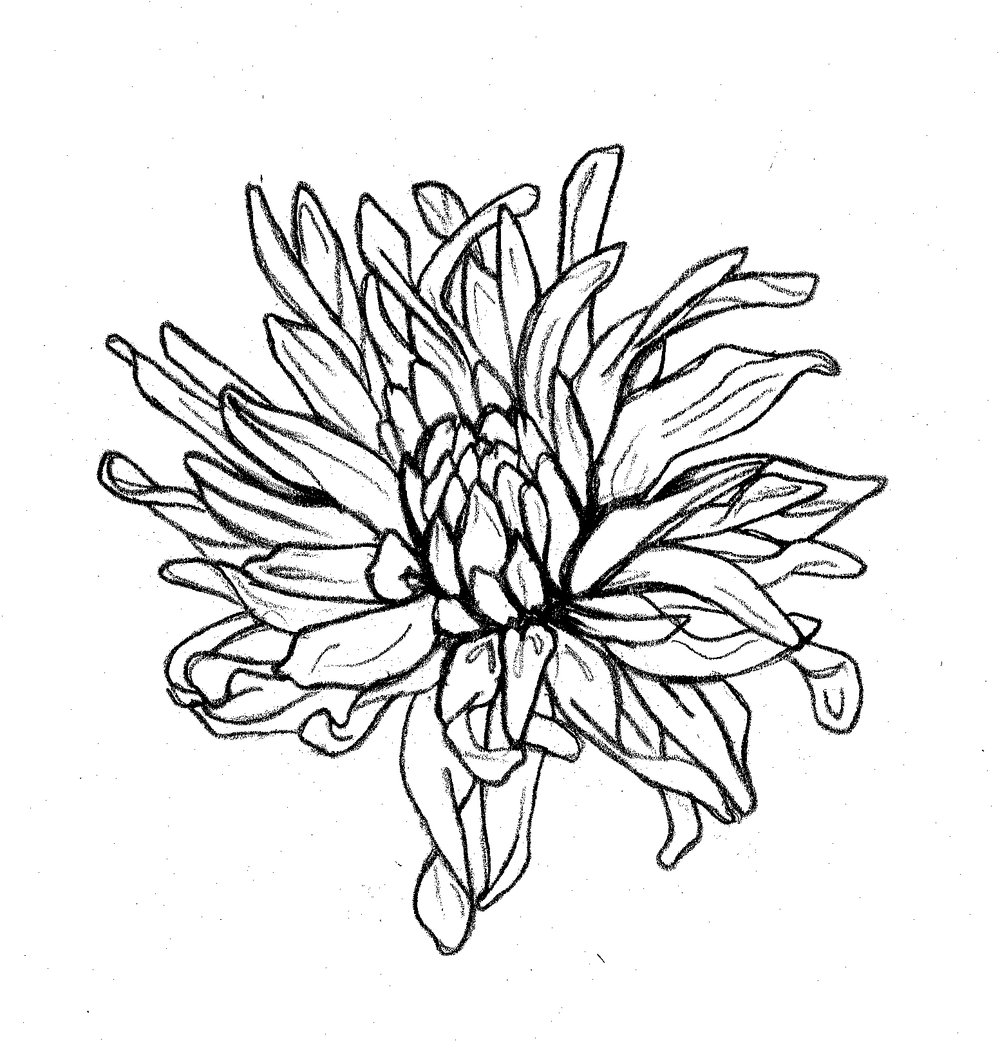 chrysanthemumdrawing.jpg