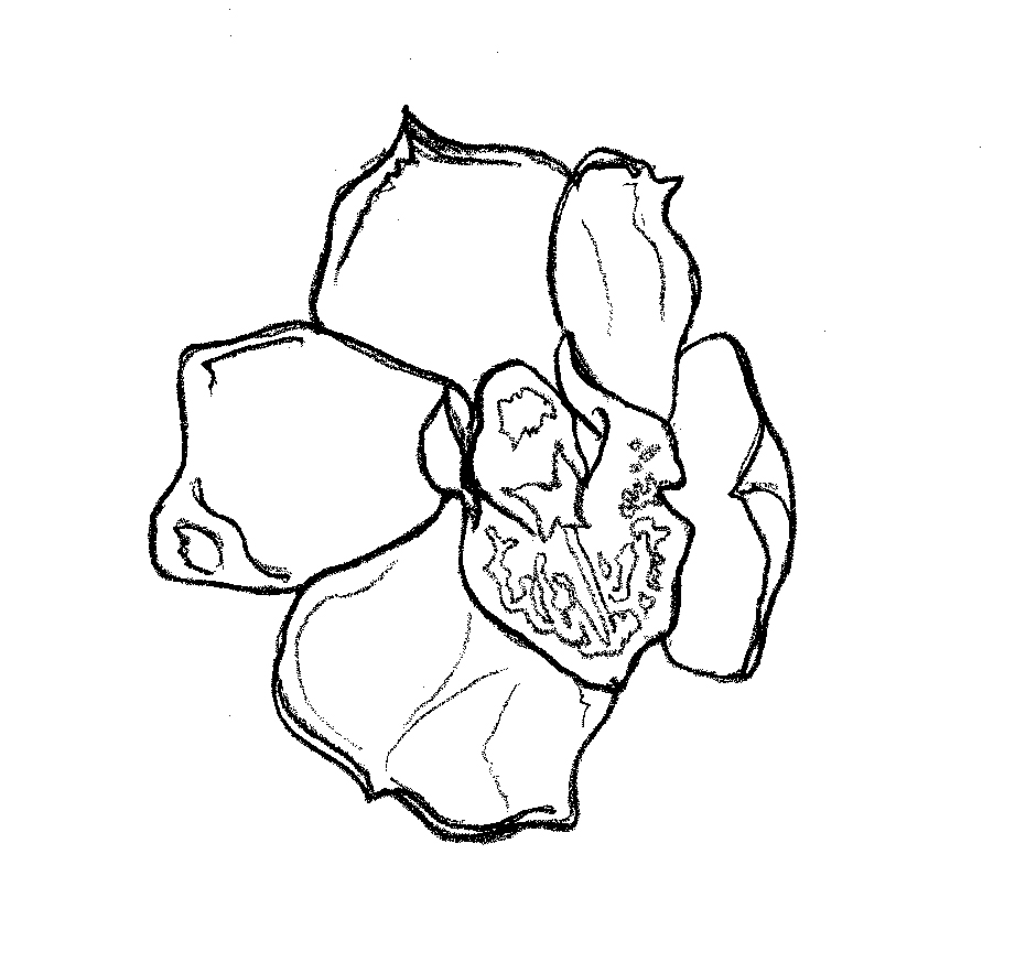 orchid2drawing.jpg