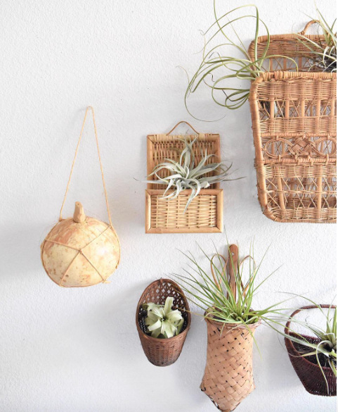 The Air Plant - The Tillandsia, or Air Plant which is much smaller in size, is equally notable since it does not require soil to grow. Most species of Tillandsia absorb nutrients and water through their leaves. This makes them super easy to care for, and fun to decorate with, allowing you to prop your air plants in baskets, shelfs, or in small geometric vases. Basically the possibilities are endless! Air Plants need to be in a space where they receive ample air flow, and bright but indirect light. Water them weekly by misting them with a spray bottle anywhere from 2-4 times a week.