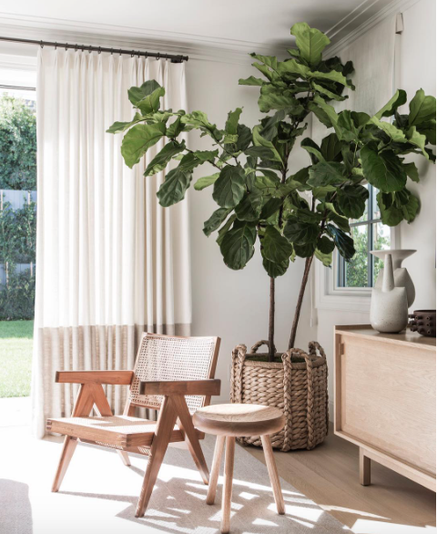 The Fiddle Leaf Fig Tree - The Fiddle Leaf Fig is the cool kid in town. It's bright green leafs have made their debut in The New York Times Magazine, Apartment Therapy, Architectural Digest, and just about every other cool blog out there. Fiddle leaf figs need bright light, so choose a spot where it'll get plenty of light for as much of the day as possible. Just make sure your tree won't have sun shining directly on it, since that can damage the leaves. As for watering, you'll want to water when the top inch of soil is dry, but the soil directly below that is moist. The easiest way to tell if it's dry is to stick your finger in the soil.