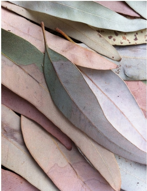 20130506 eucalyptus leaves.jpg