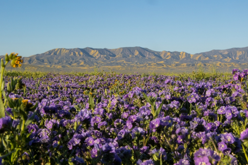 Valley phacelia (Phacelia ciliata) and other California wildflowers in bloom. Photo courtesy Nik Kronick.