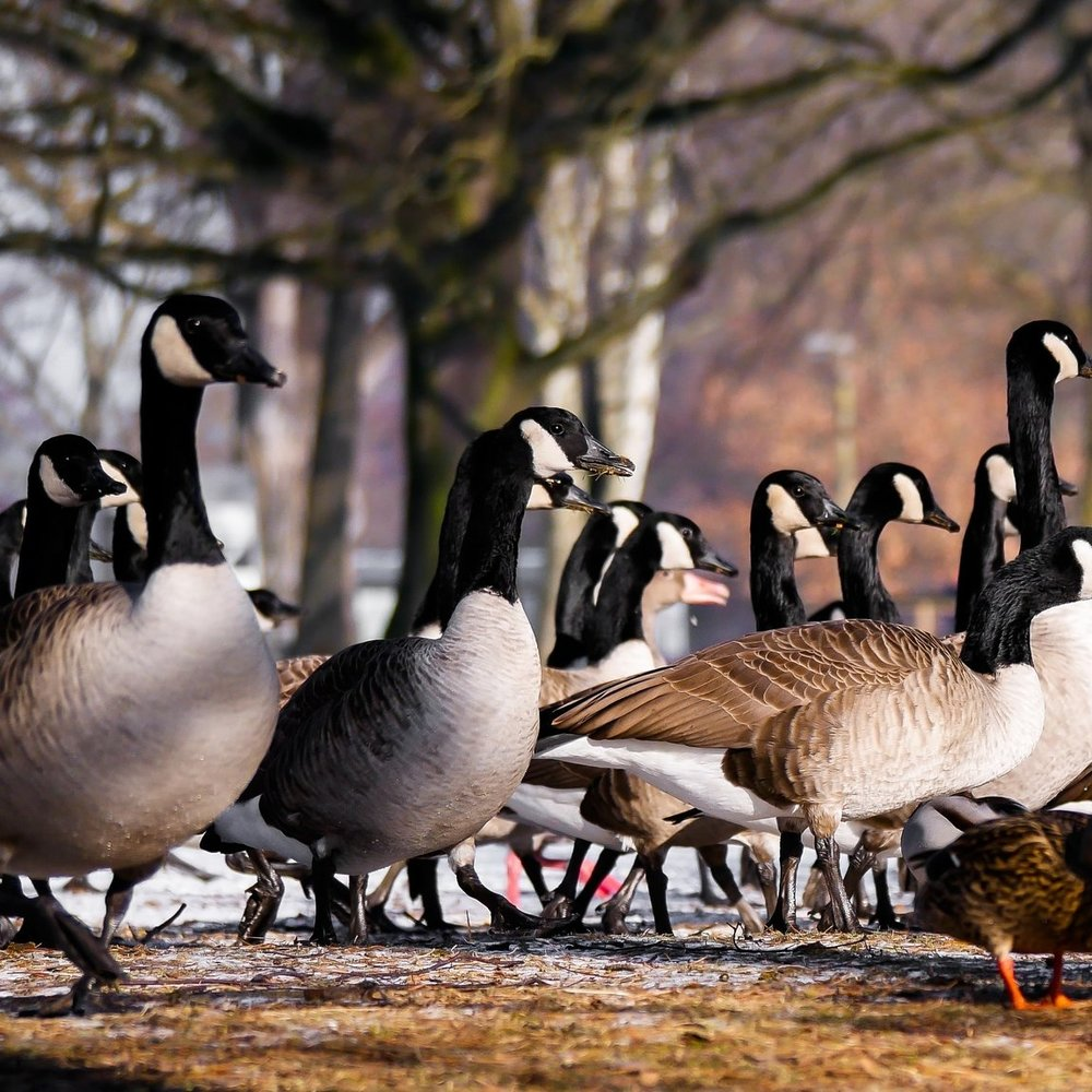 animals-bill-ducks-357169.jpg