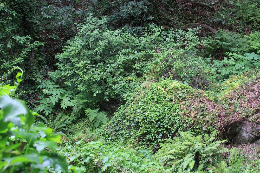 Before- Ivy infestation