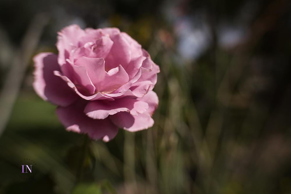 Rose-LB-35-copy