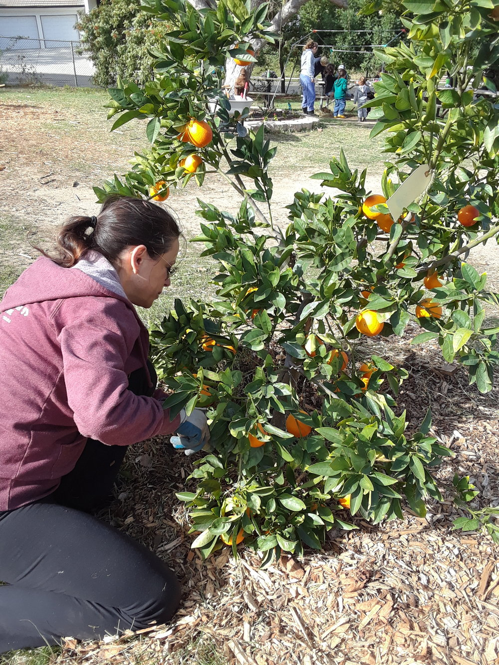 Weeding and mulching around citrus trees in the orchard