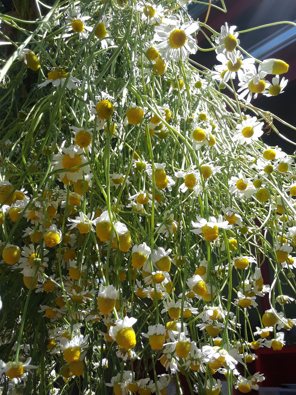 Chamomile drying
