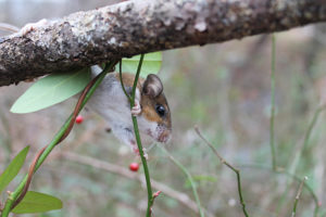 Mouse in multiflora rose (Image: Solny Adalsteinsson / Washington University)