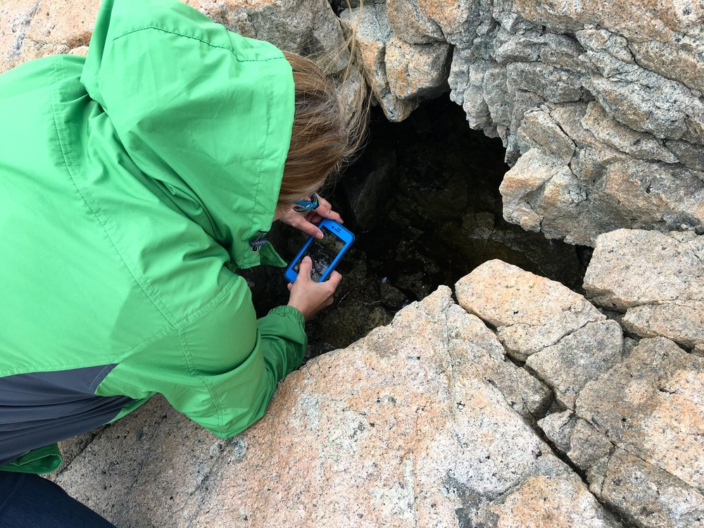 Kim confirming the presence of mosquito larvae in a water-filled hole at Schoodic Point.