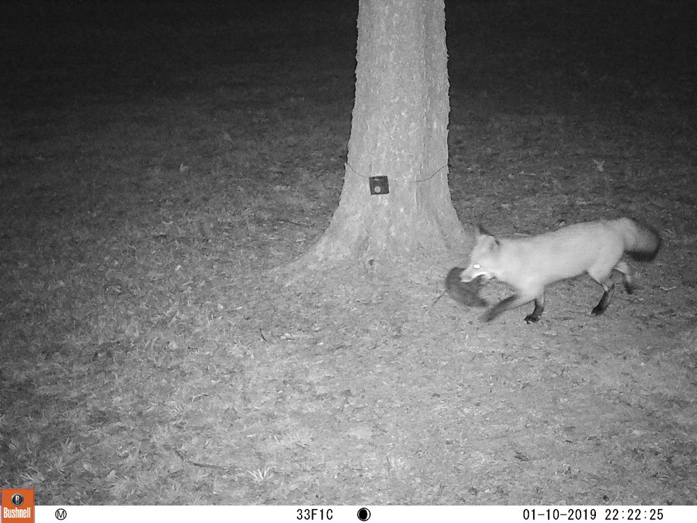 Red fox with prey photographed at a suburban county park location