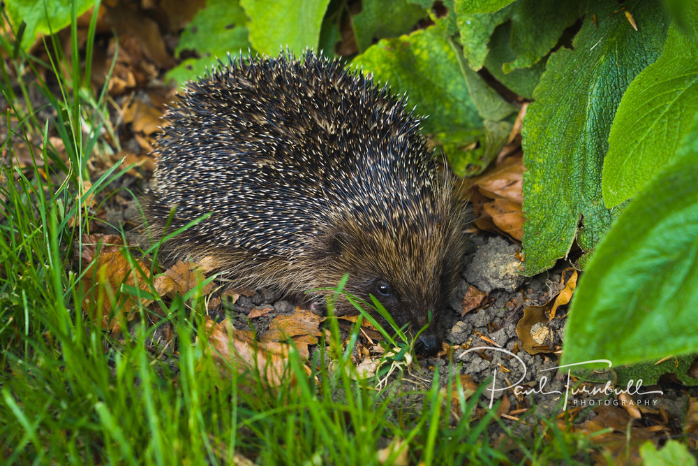 Hedgehog in the shade in the garden