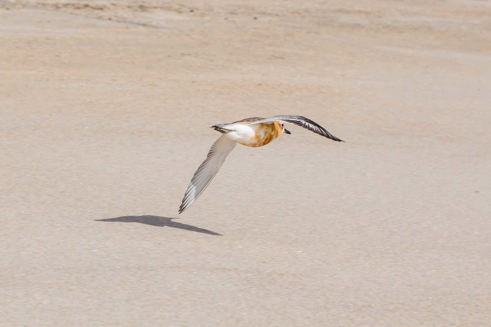 Dotterel 480 by 320 no border metallic print.jpg