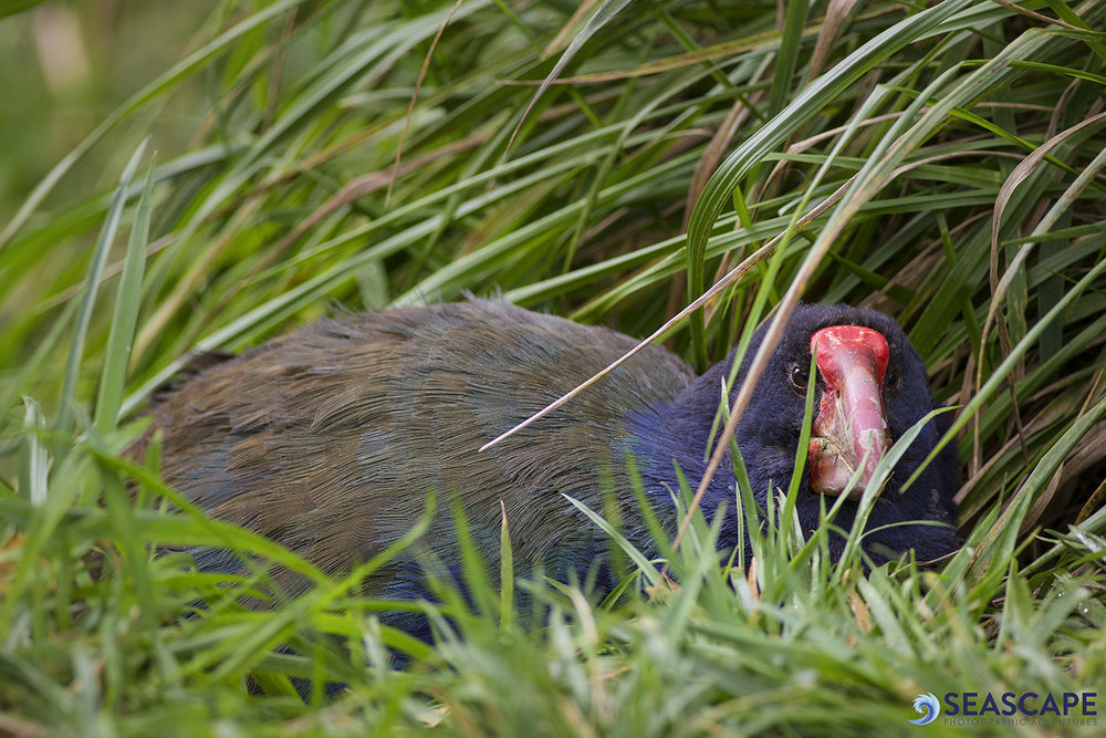 Takahe watermark.jpg