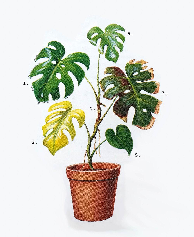 ilustrácia je z knihy Pokojové rostliny