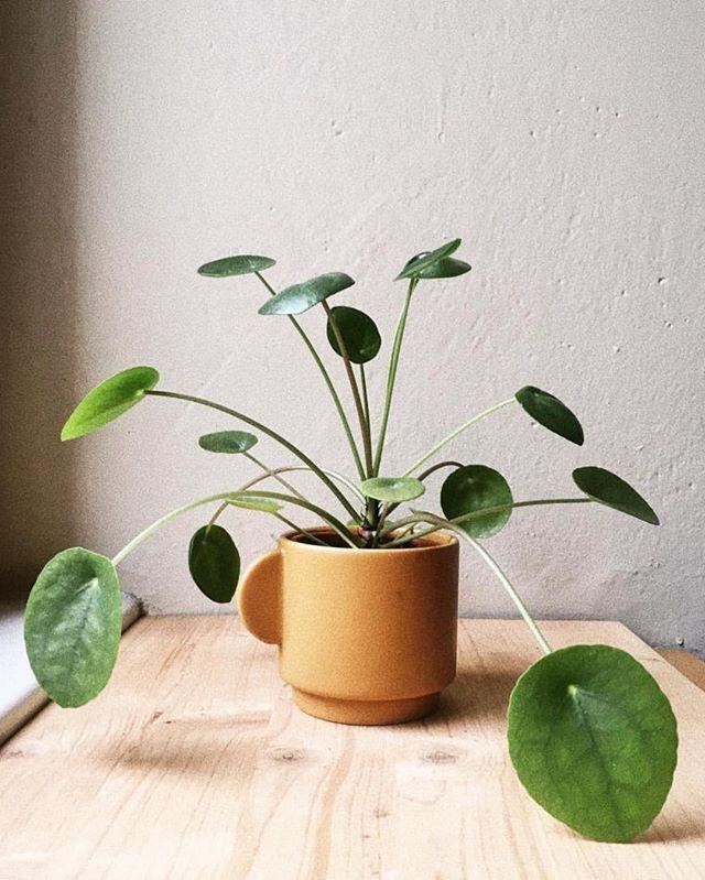 Často sa nás pýtate, čo je zle, keď vaše rastlinky momentálne nerastú. Odpoveď je - nič, všetko je správne. Jeseň a zima sú obdobiami vegetačného pokoja, rastlinky oddychujú, stagnujú a pripravujú sa na novú sezónu. Tak zvoľnite so starostlivosťou o ne aj vy. 🌿 #nasepokojovky #pileapeperomioides