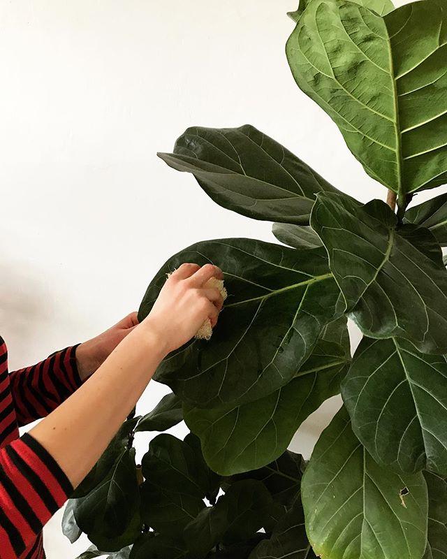 V létě se snáze odstraňuje prach z listů díky pravidelnému sprchování rostlin, co jsme  vás už naučily. A jak čistit listy v zimě, kdy se sprchování nedoporučuje? Omyjte hadříkem či houbičkou lístek po lístku. V zimě na to opravdu nezapomínejte, protože je málo světla a pokud máte listy zaprášené, tak je příjem světla snížený a navíc je to zábava na dlouhé zimní večery.🌿💦#nasepokojovky