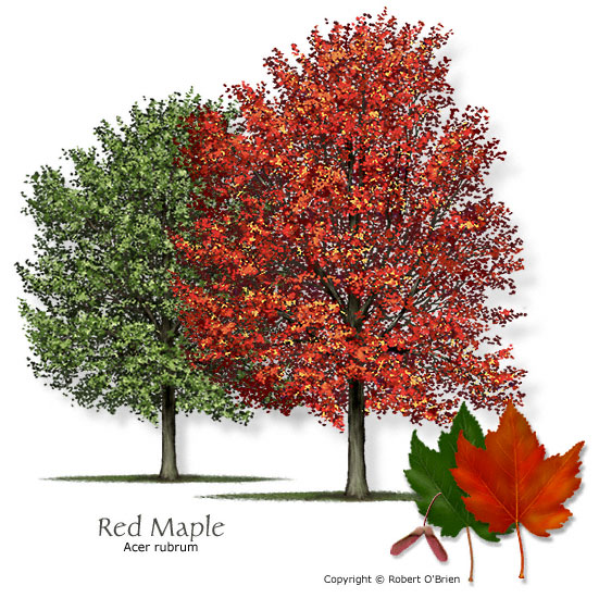 maple_red.jpg