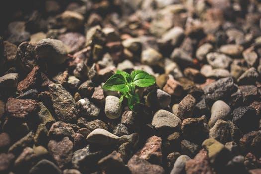 seedling among rocks.jpeg