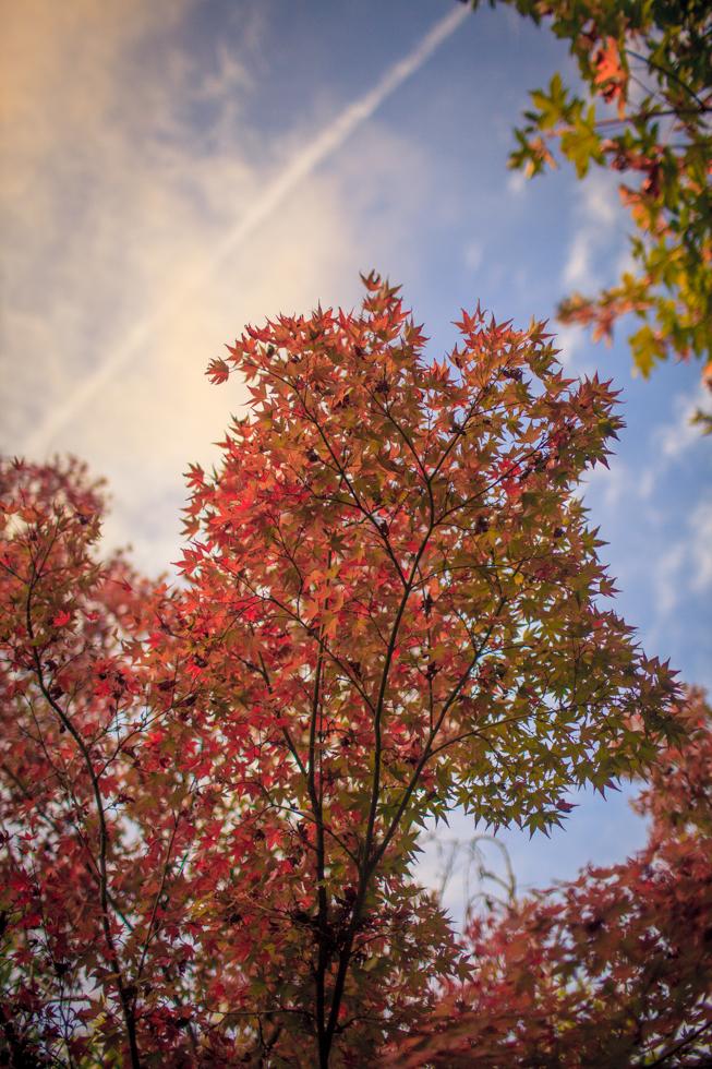 Japanese maple berkeley