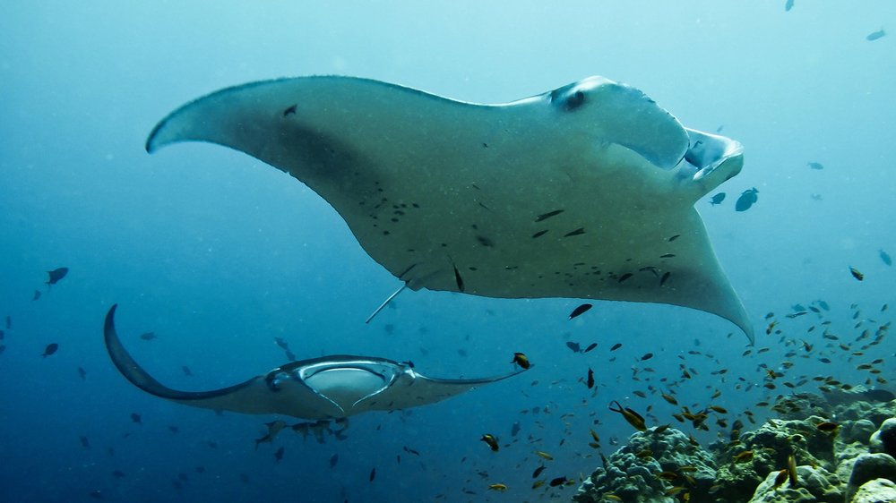 T0815MANTARAYS_HR.jpg