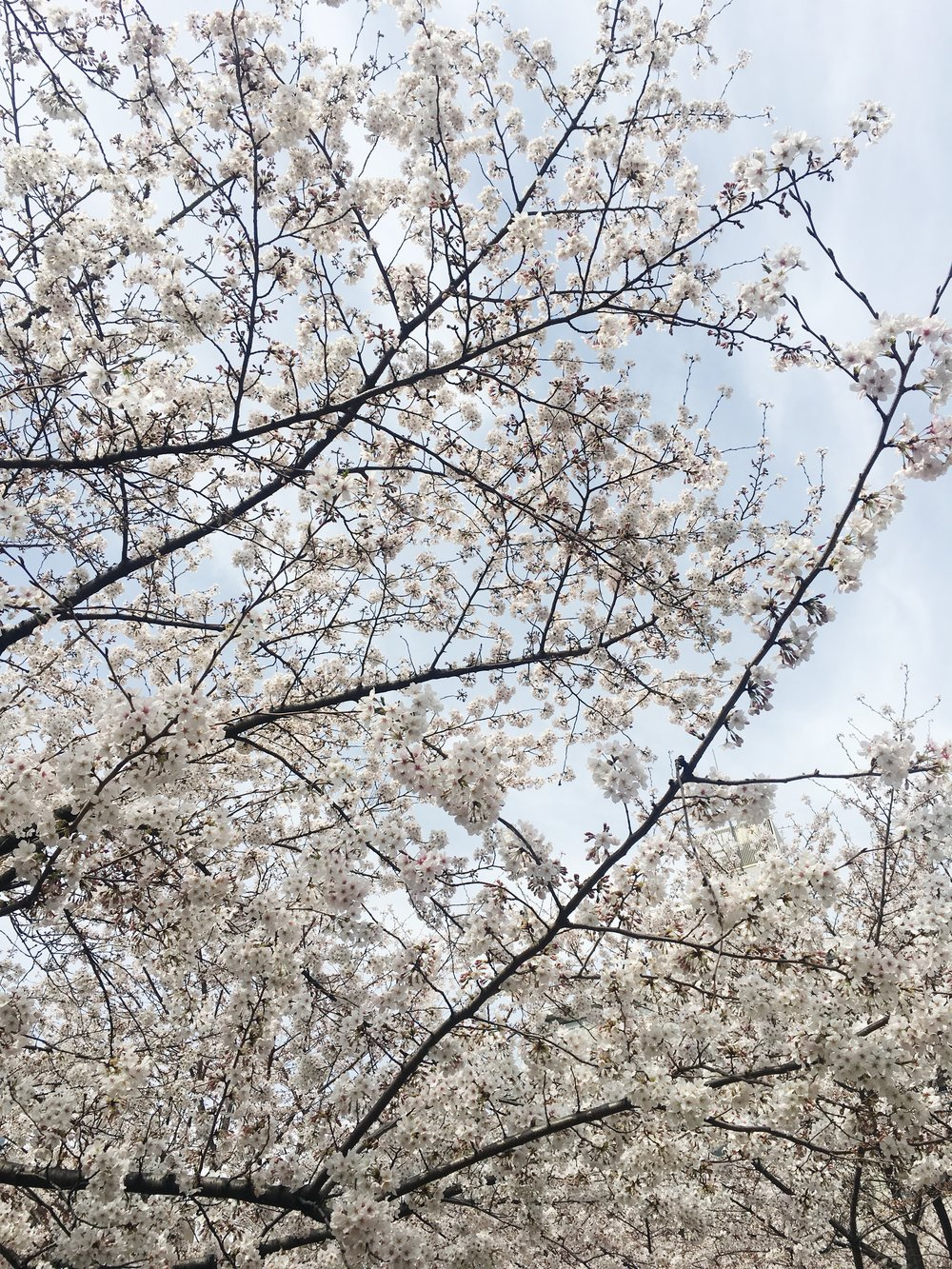 dreamlinealliance-cherry-blossoms.JPG
