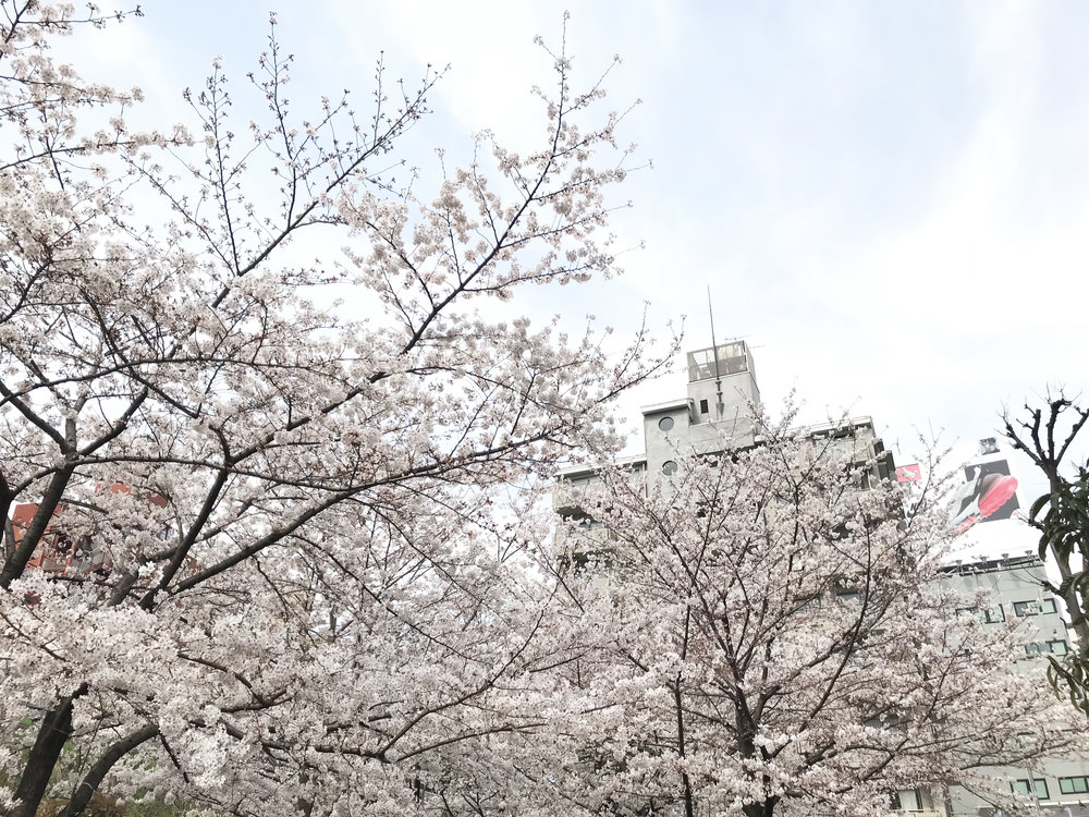 cherry_blossoms.jpg