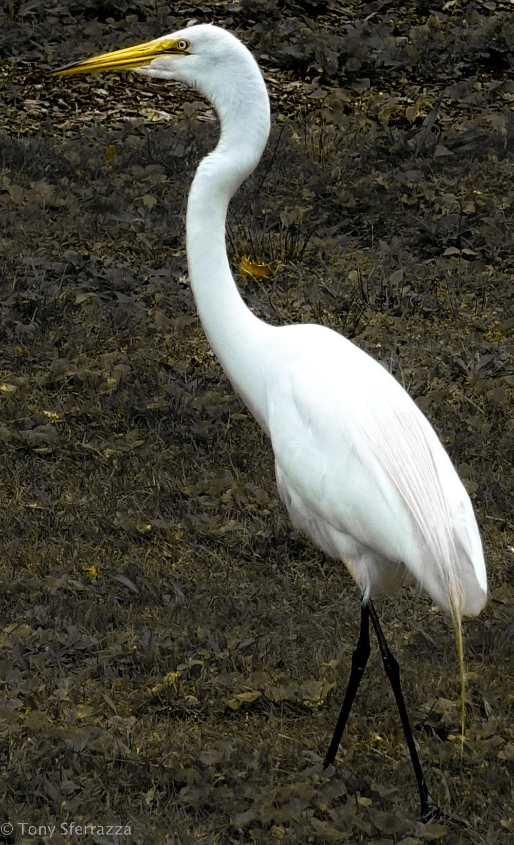 Great Egret (Profile)