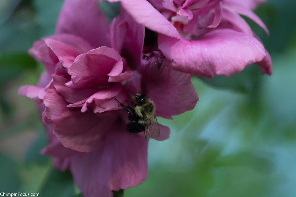 Bee Pollinating (Macro)
