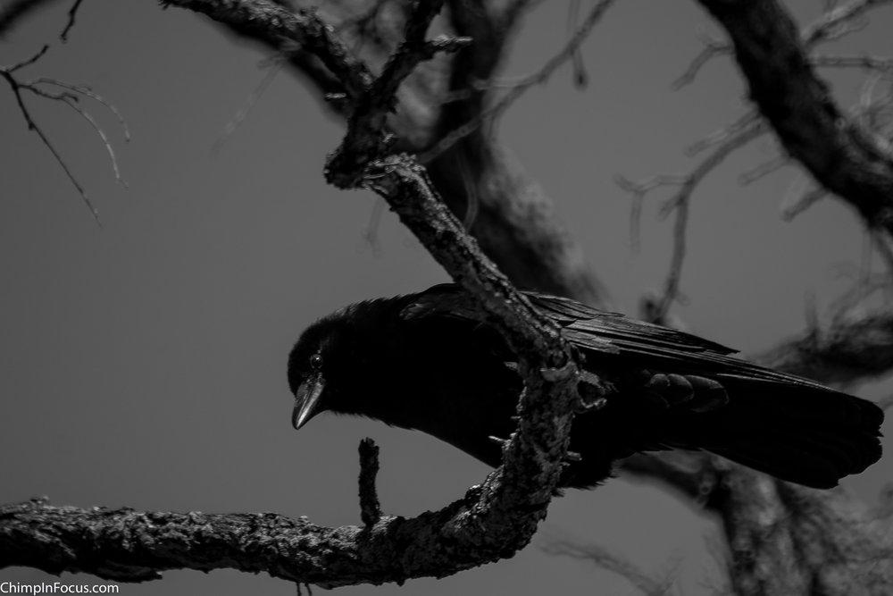 Eerie Crow