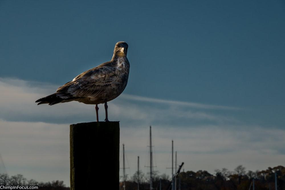Glowing Gull