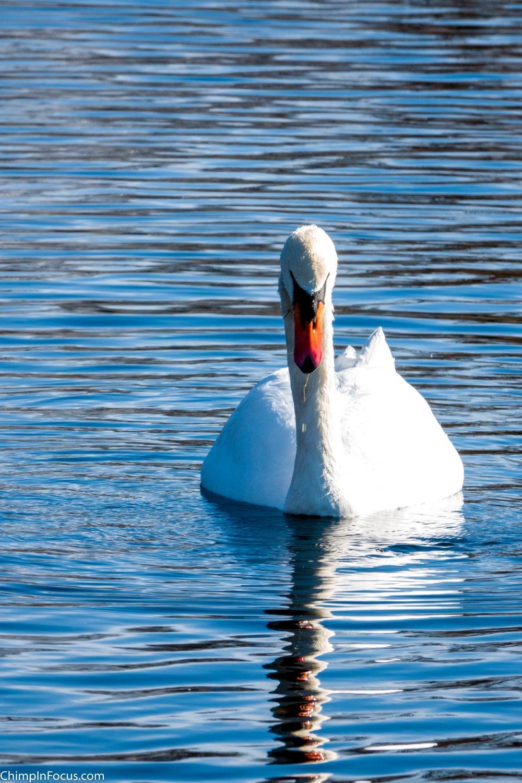 Swan on a rippled mirror lake
