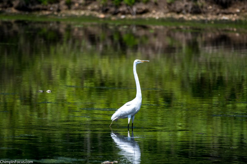 CIF-Great Egret-1.jpg