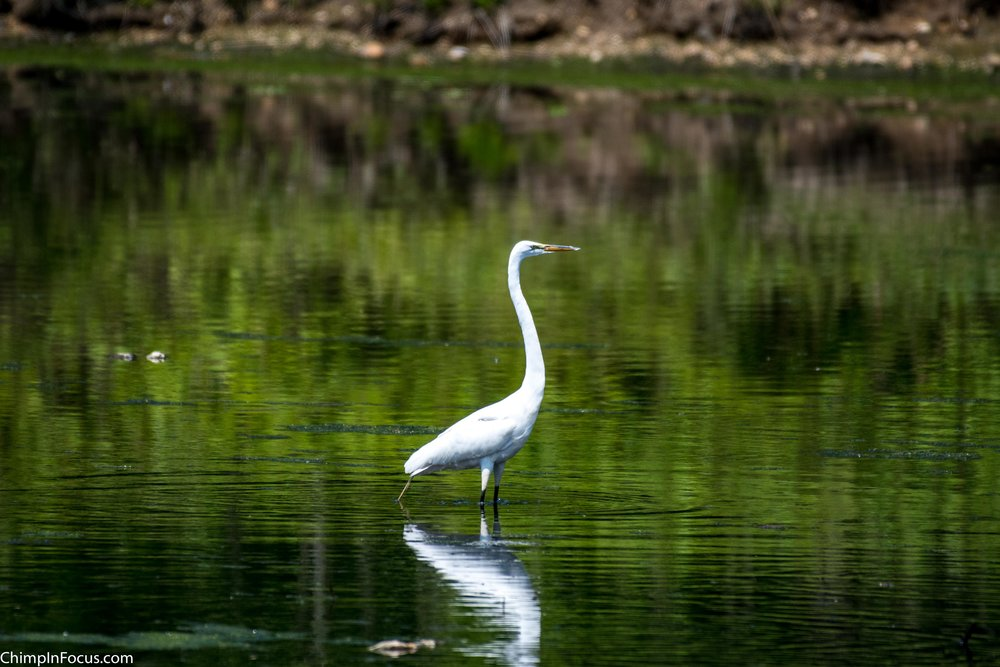 CIF-Great Egret-2.jpg