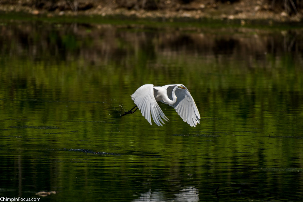 CIF-Great Egret-7.jpg