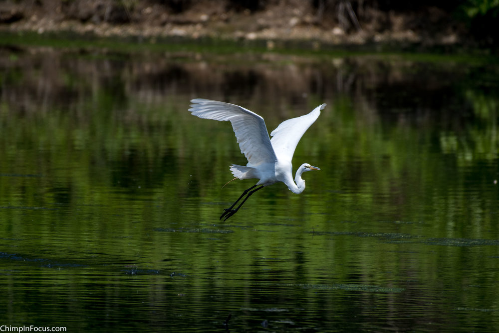 CIF-Great Egret-9.jpg