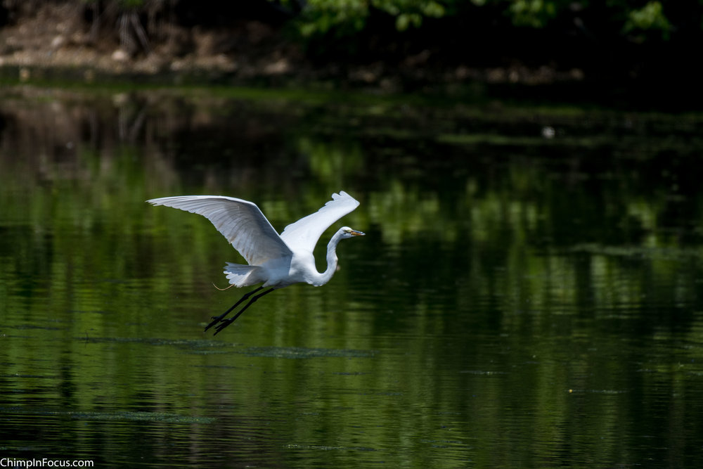 CIF-Great Egret-11.jpg