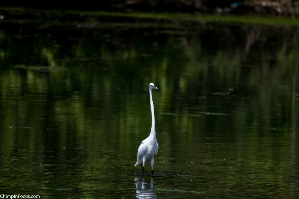 CIF-Great Egret-17.jpg